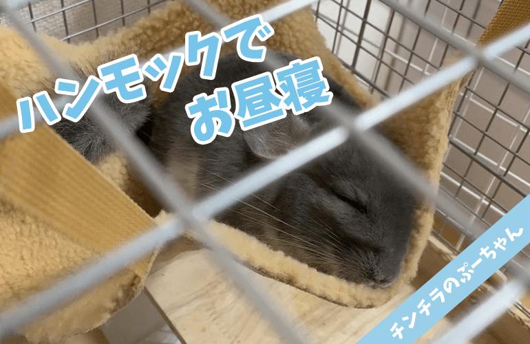 【チンチラ】ハンモックでぐっすりお昼寝するぷーちゃんが可愛い【chinchilla】