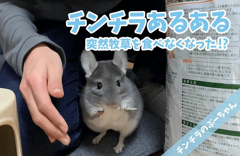 【チンチラ】チンチラあるある!?ある日突然チモシーを食べなくなった!