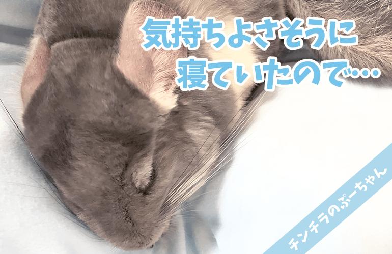 【チンチラ】睡眠の秋!ぷーちゃんが爆睡中だったので撮影していたら…