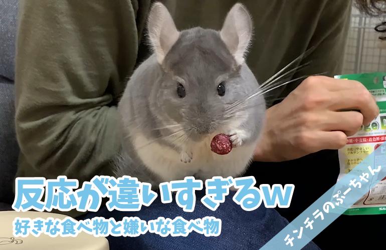 【チンチラ】好きな食べ物と嫌いな食べ物の反応の違いが面白すぎる!
