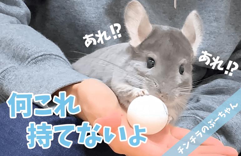 【チンチラ】つるつる滑るおもちゃで遊ぶチンチラが可愛すぎる!