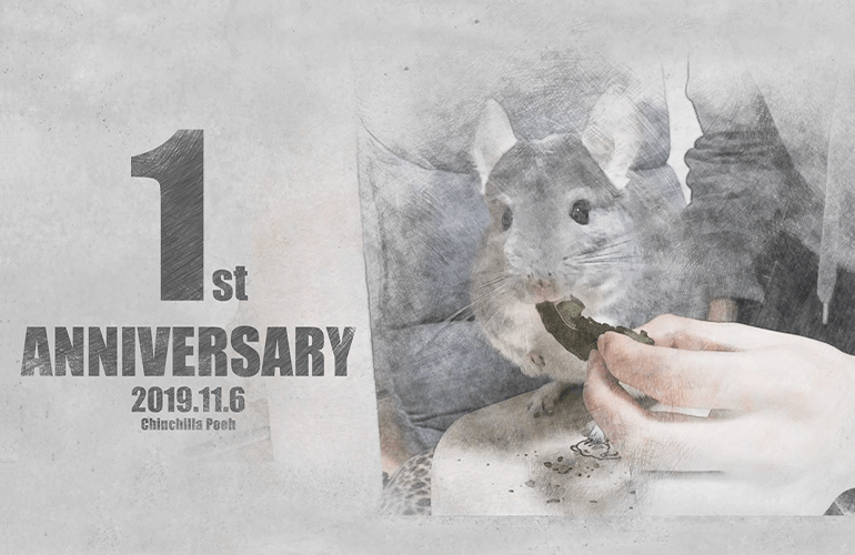 【1周年記念動画】チンチラのぷーちゃんをお迎えして1年が経ちました!