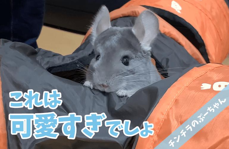 【チンチラ】はじめてのトンネル遊びが楽しすぎて大はしゃぎ!