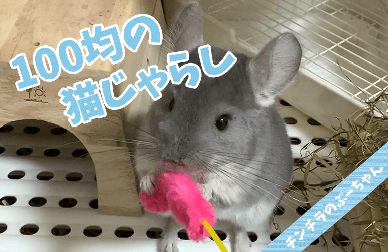 【チンチラのおもちゃ】ぷーちゃんは猫じゃらしで遊ぶのか?