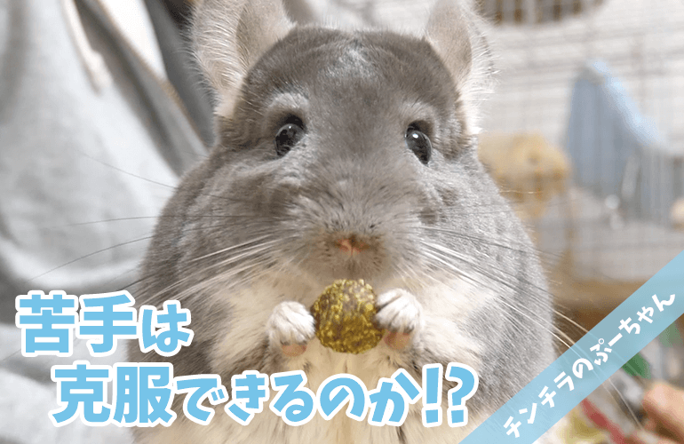 【チンチラ】ひさしぶりに嫌いだった食べ物をあげてみたらまさかの反応!