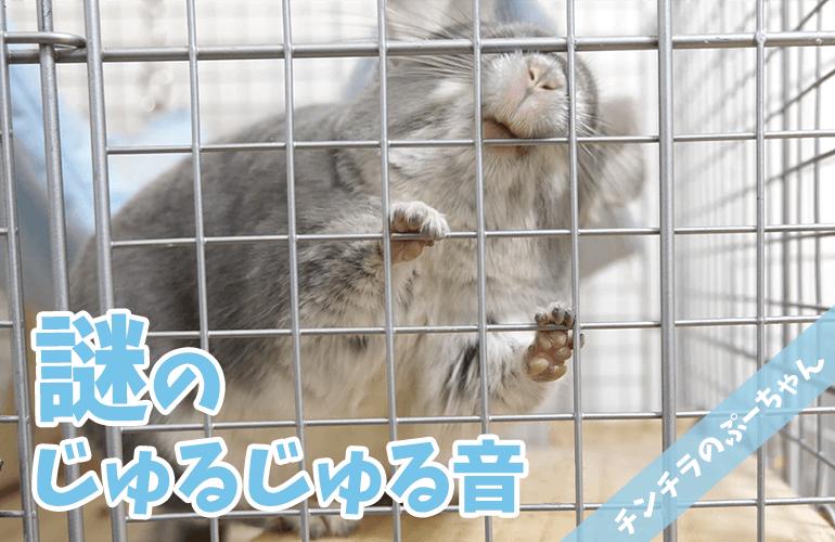 【チンチラ】謎のじゅるじゅる音!