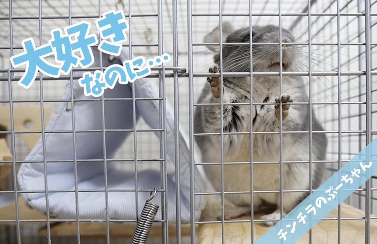 【チンチラ】大好きなのに壊しちゃう…破壊神ぷーちゃんとの終わらない闘い!