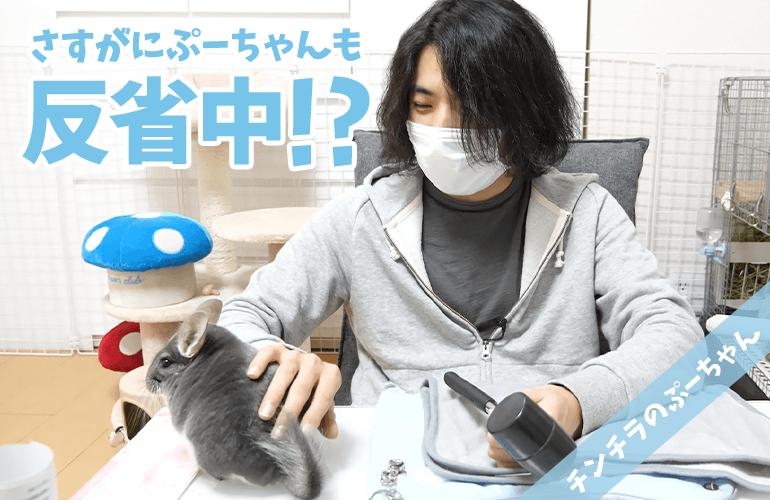 【チンチラ】意外と簡単!?チンチラのぷーちゃんのために手作りハンモックをDIY!