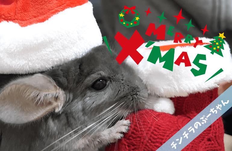 【チンチラ】Merry Christmas!ぷーちゃんとのクリスマスのお祝いをしたら可愛すぎた!