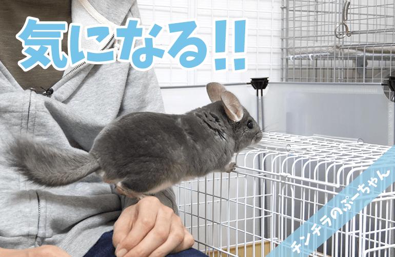 【チンチラ】デグーが家にやってきた!先住チンチラぷーちゃんの反応は!?
