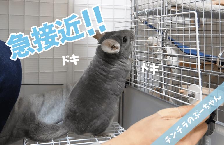 【チンチラ】急接近!デグーのぴーちゃんが気になって仕方がないぷーちゃんが可愛すぎる!