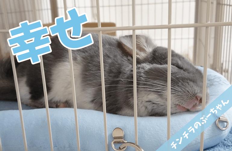 【チンチラ】今一番お気に入りの場所!ベッドでぐっすり眠るぷーちゃんが幸せすぎる!