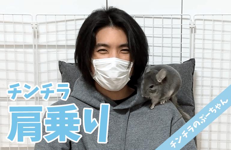 【チンチラ】肩乗りチンチラが可愛い!ぷーちゃんと肩乗りの練習!