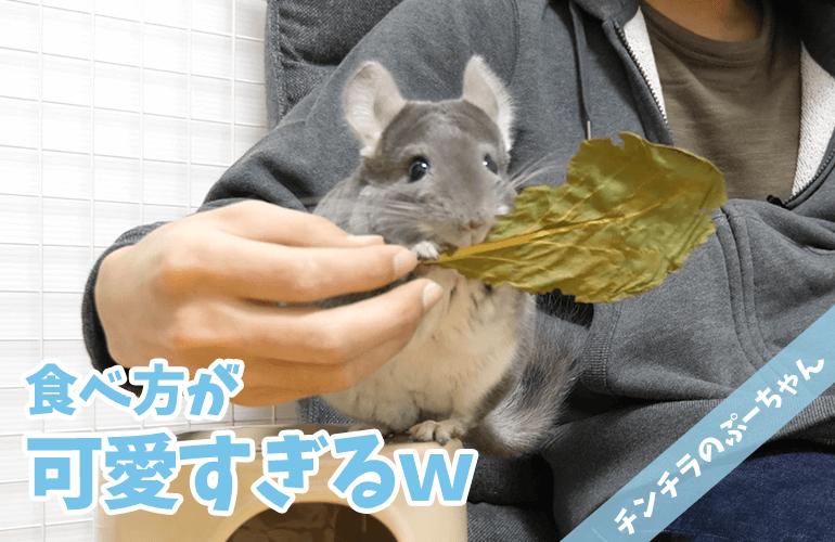 【チンチラ】大きな葉っぱをそのままあげたら可愛すぎた!はじめての小松菜!