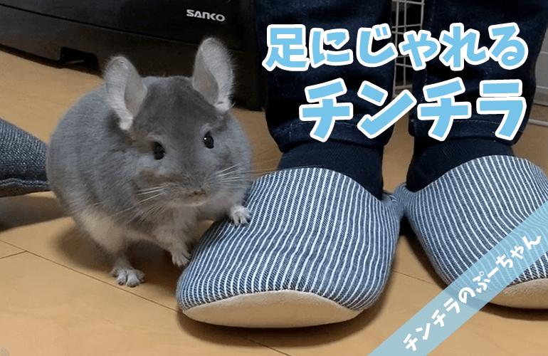 【チンチラ】足にじゃれるチンチラのぷーちゃんが可愛い!
