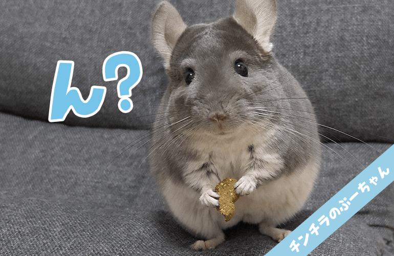 【チンチラ】おやつを食べてる途中で何度もフリーズするぷーちゃんが可愛すぎる!