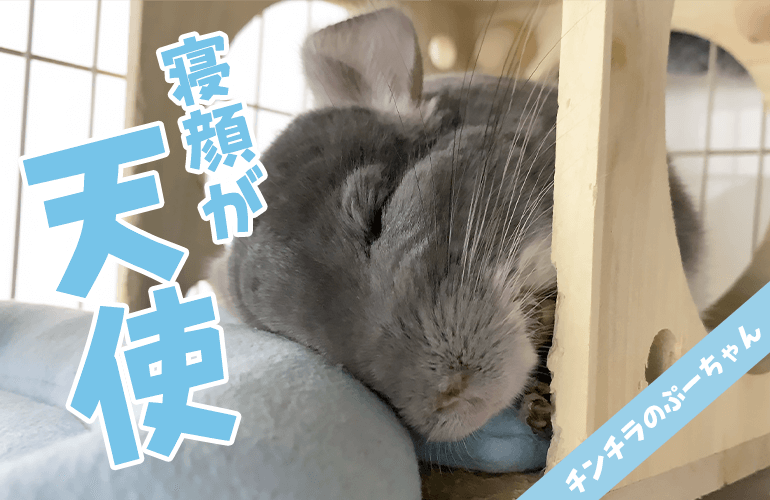 【チンチラ】部屋んぽに大満足した後のチンチラの寝顔が可愛すぎた!