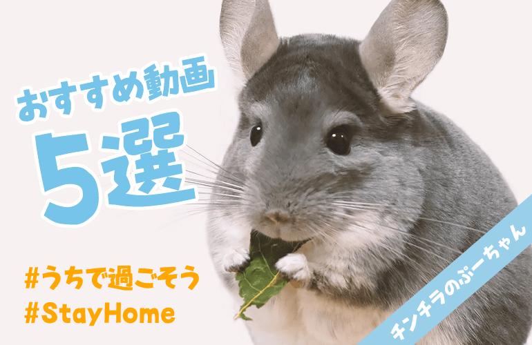 【#うちで過ごそう】チンチラのぷーちゃんおすすめ動画5選! #StayHome