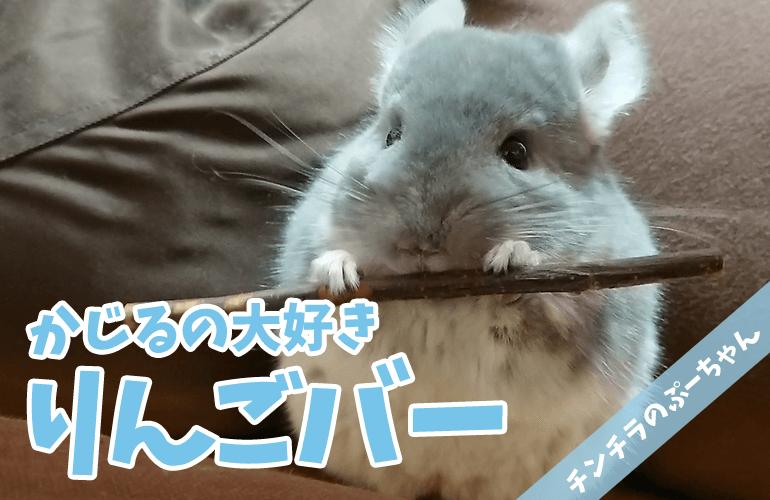 【チンチラ】かじるの大好きりんごバー【chinchilla】