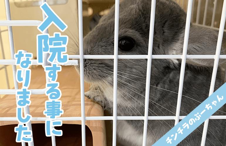【ご報告】チンチラのぷーちゃんが入院することになりました!