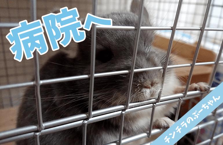 【チンチラ】近況報告!ぷーちゃん病院へ!