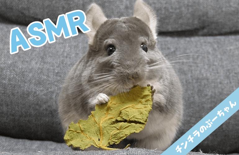 【Animal ASMR/咀嚼音】チンチラが桑の葉を食べる