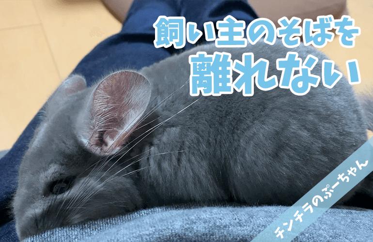 【チンチラ】飼い主のそばを離れない甘えん坊なぷーちゃんが可愛すぎる!【chinchilla】