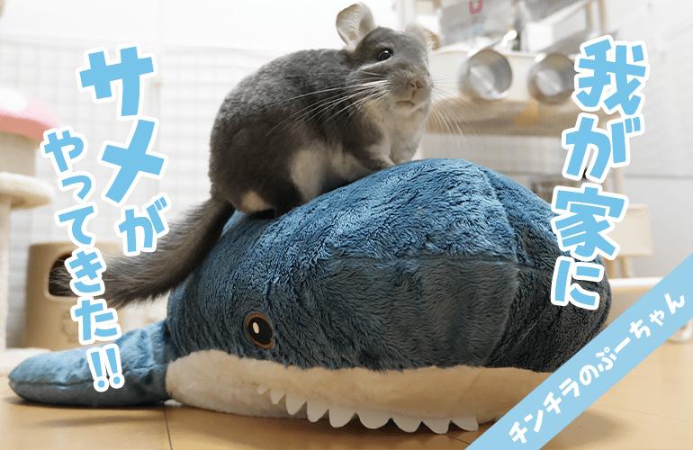 家に巨大なサメがいたらチンチラはどんな反応をするのか!?