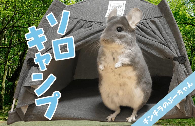 【100均】ダイソーのペット用テントに大興奮なチンチラが可愛すぎる!