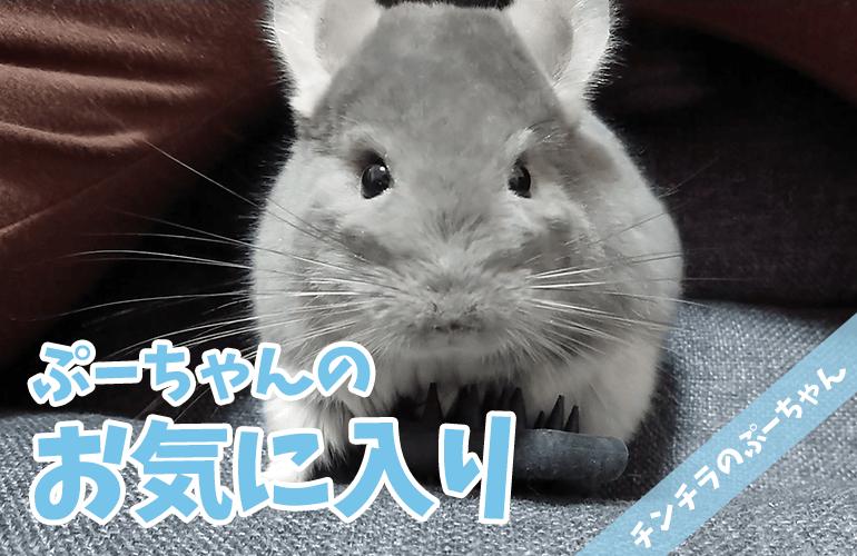 【チンチラ】大好きなブラシでひとり遊びするぷーちゃんが可愛い!