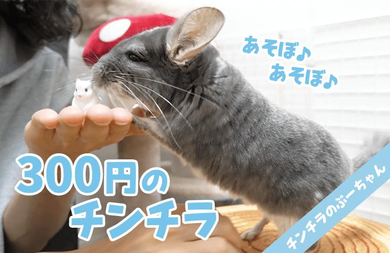 【300円】家にチンチラのパイドの赤ちゃんがやってきました!