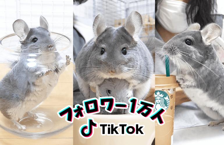 【祝!フォロワー1万人突破記念】可愛すぎるチンチラのTikTok総集編!