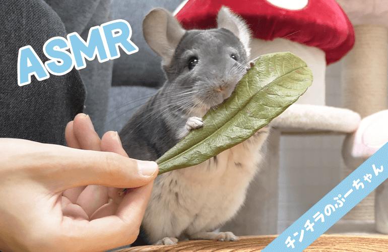 【Animal ASMR】チンチラがびわの葉を食べる咀嚼音【音フェチ】