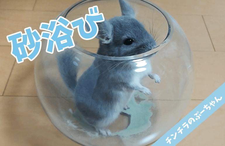【チンチラ】ガラスの容器で丸見え!豪快すぎるチンチラの砂浴び!【chinchilla】