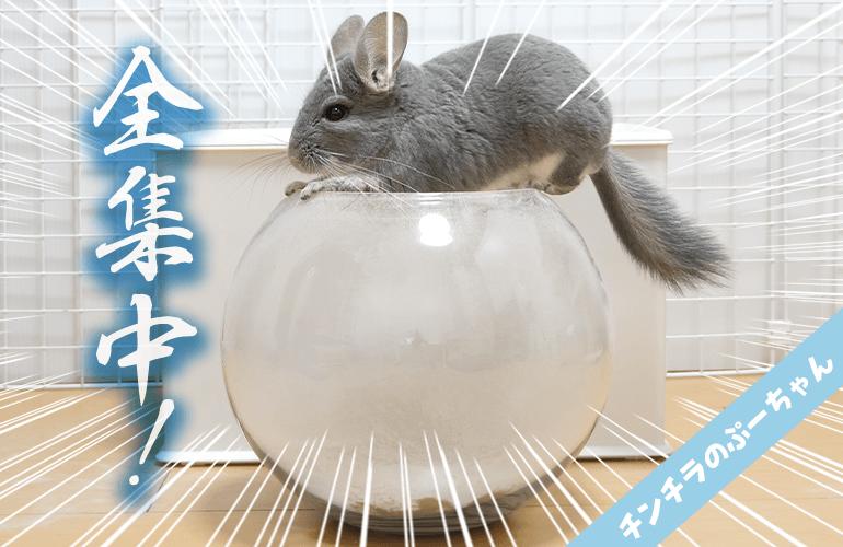 【全集中】チンチラの呼吸!壱ノ型・砂浴び全力回転!