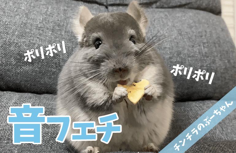 【ASMR】チンチラのぷーちゃんの咀嚼音が気持ちいい!【音フェチ】