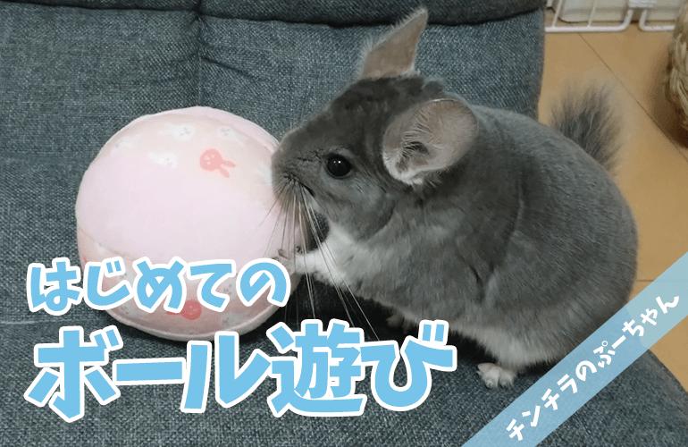 【チンチラのおもちゃ】ぷーちゃんと一緒にボールで遊びたい!Part1