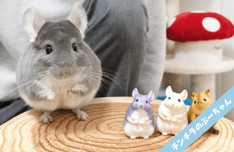 【ガチャガチャ】ぷーちゃんにそっくりなチンチラのフィギュアが可愛すぎる!