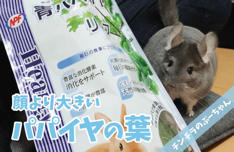 【チンチラ】ぷーちゃんより大きい!?「青パパイヤリーフ」をプレゼント!