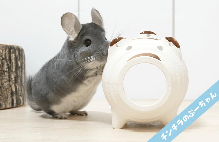 【ダイソー】豚の蚊取り器が気になってしかたがないチンチラが可愛すぎる!