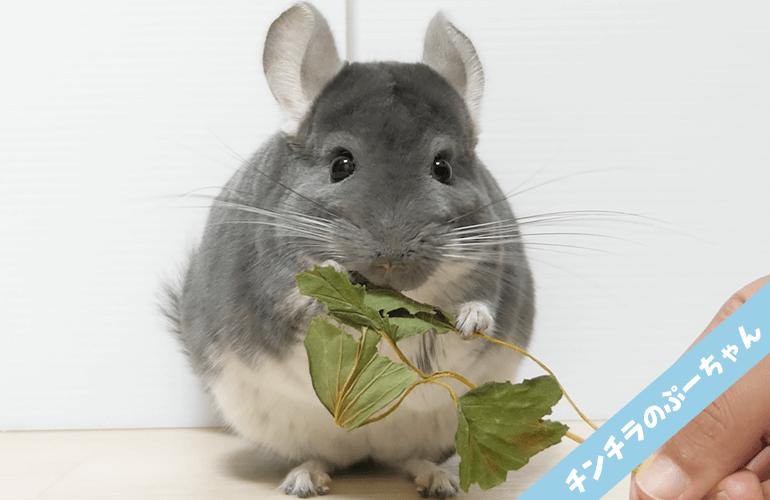 【Animal ASMR】チンチラがいちごの葉を食べる咀嚼音【音フェチ】