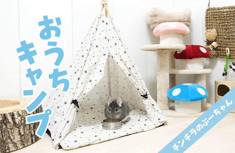 ダイソーのペット用テントで遊ぶチンチラが可愛すぎる!