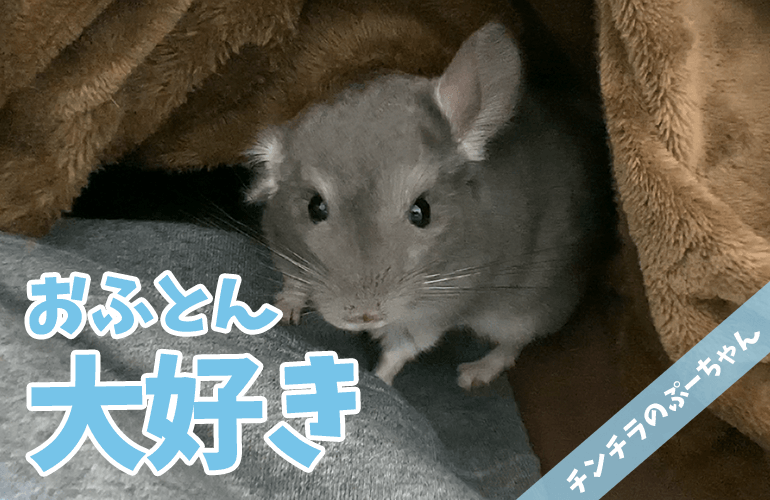 【チンチラ】おふとん大好き!飼い主のベッドに潜り込んで遊ぶ姿が可愛すぎる!【chinchilla】