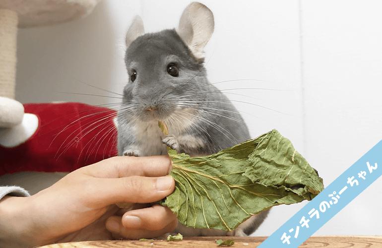 いろいろな食べ方を見せてくれるチンチラが可愛すぎる!