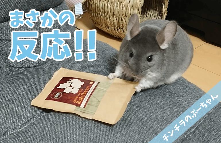 【チンチラ】予想外の反応!ぷーちゃんに「イグサ」をプレゼントし!