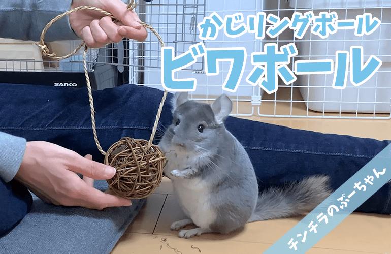 【チンチラのおもちゃ】「かじリングボール ビワボール ミニ」でぷーちゃんと遊ぼう!