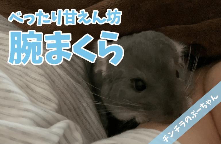 【チンチラ】腕まくらで一緒にお布団で寝るチンチラが可愛すぎる!