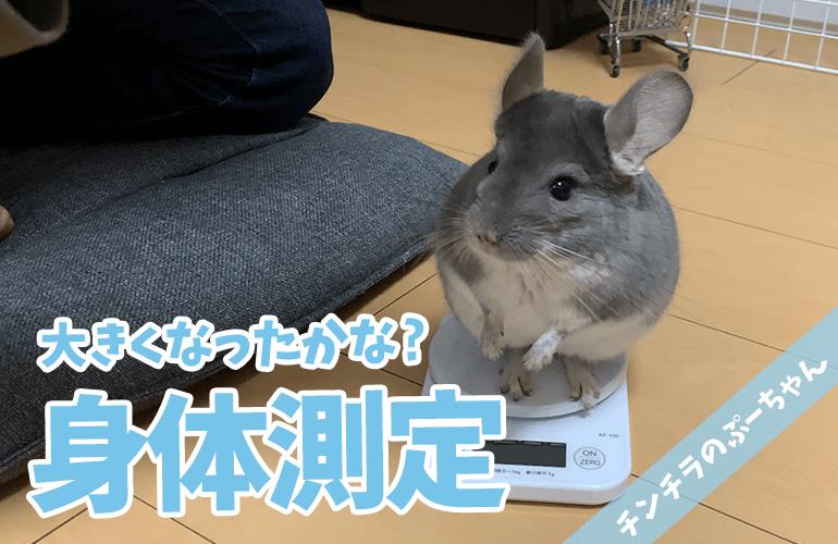 【チンチラ】ぷーちゃんの身体測定!大きくなったかな?
