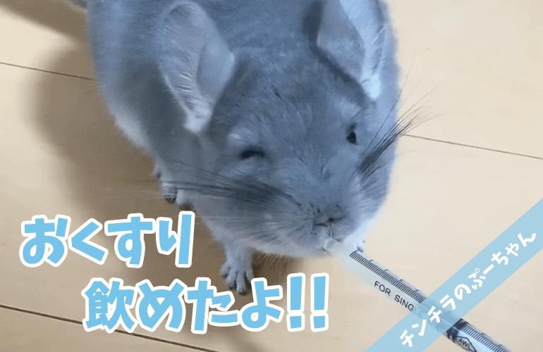 【チンチラ】ぷーちゃんが注射器からお薬を飲むようになりました!
