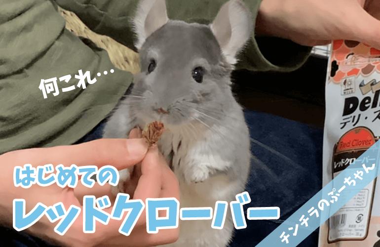 【チンチラ】はじめて!ぷーちゃんに「レッドクローバー」をあげてみた!